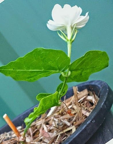 How To Propagate Arabian Jasmine Mogra Jasmine Plant Arabian Jasmine Propagation