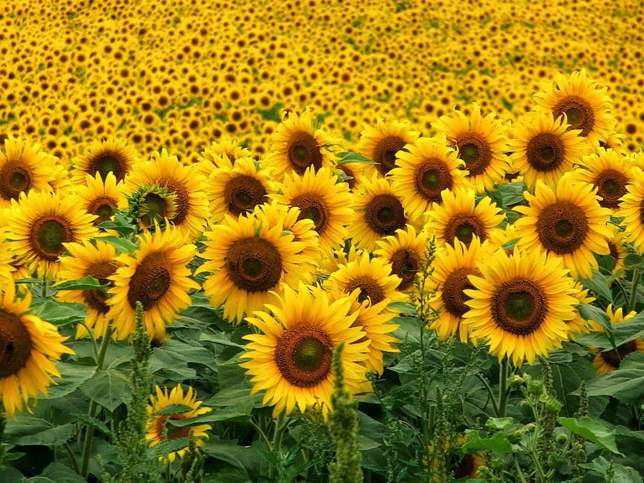 Picture Of Sunflowers Hd Pictures Best Flower Pictures Flower Pictures Sunflower Wallpaper