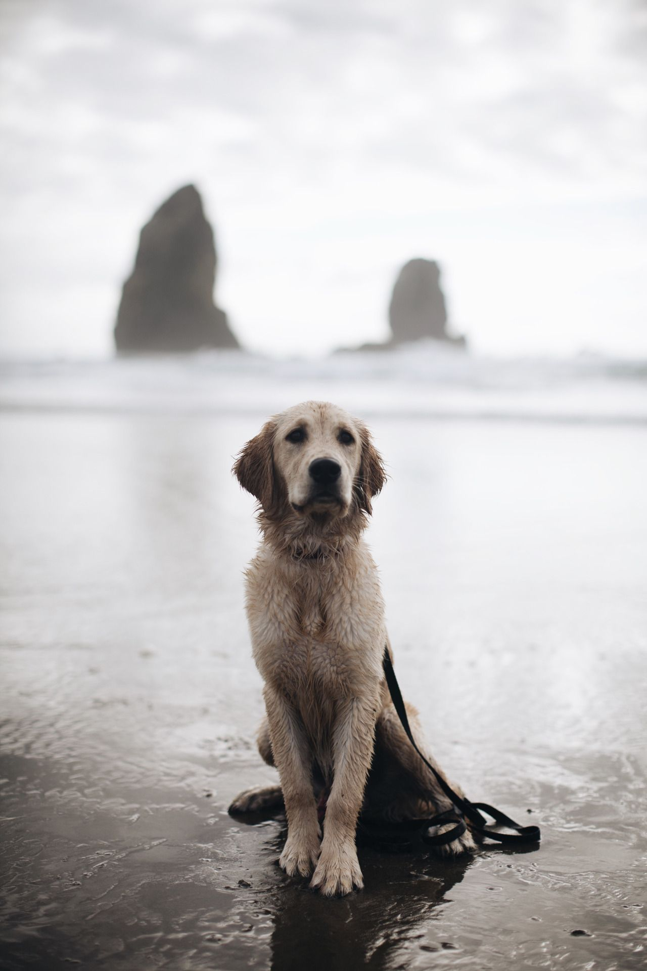 ahounddog Rio, golden retriever puppy. Cannon Beach