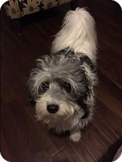 Long Beach Ny Terrier Unknown Type Small Havanese Mix Meet Eli A Dog For Adoption Terrier York Terrier