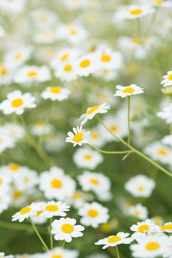 Wist je dat Tanacetum heerlijk geurt?    #tanacetum #heerlijkegeur #instagarden #gardens #urbangardening #vasteplant #hardyplants #gardenlove #groenmaaktgelukkig #perennials #perennialpower #tuinieren #vasteplanten #gardening #plantsofinstagram