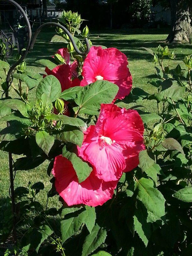 My Hardy Perennial Red Hibiscus Shrub 2nd Season Zone 5 Flowers