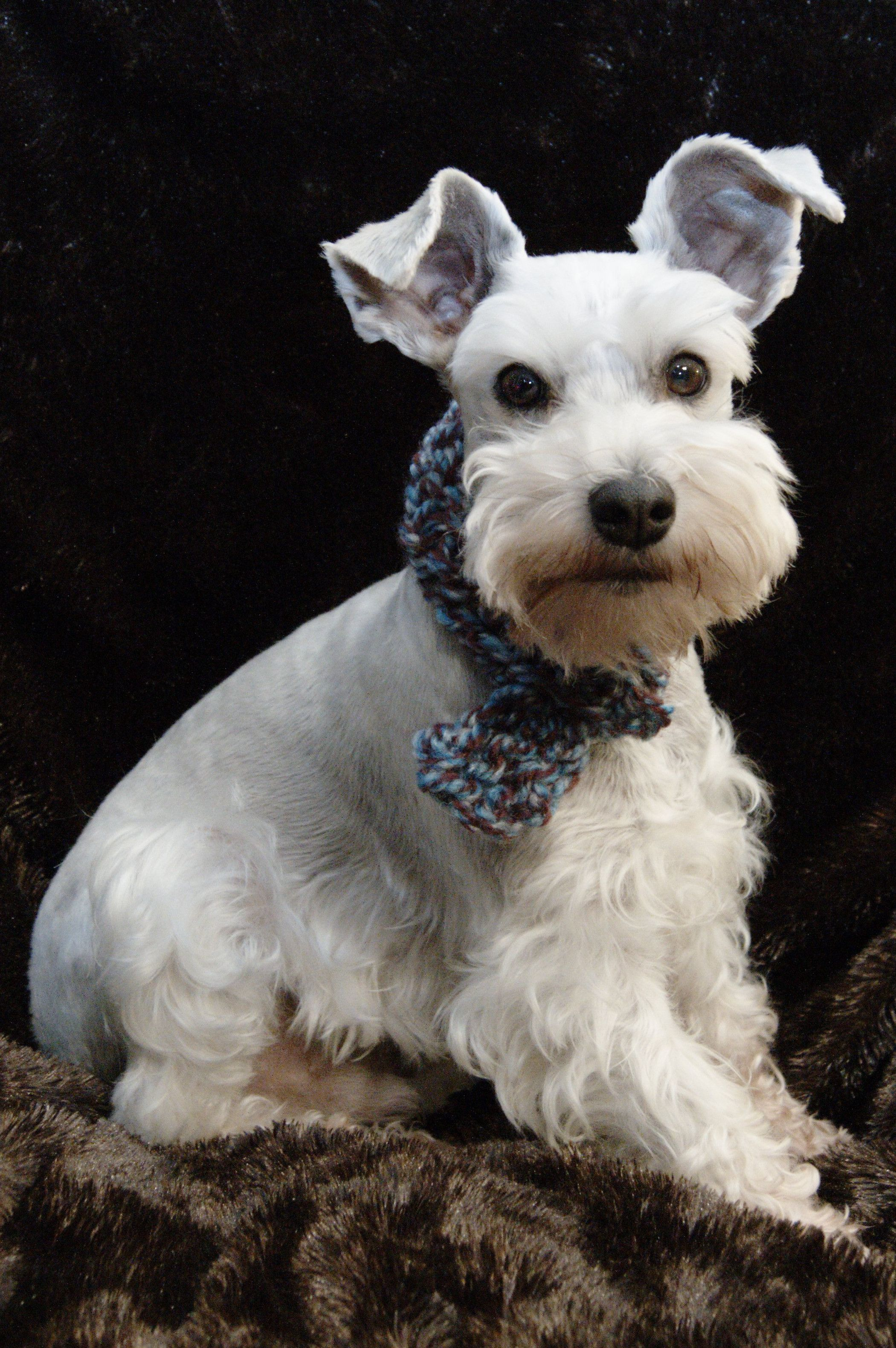 Kodiak Loves Wearing His Scarf From Scotland White Mini Schnauzer Miniature Schnauzer Schnauzer Miniature Schnauzer Puppies
