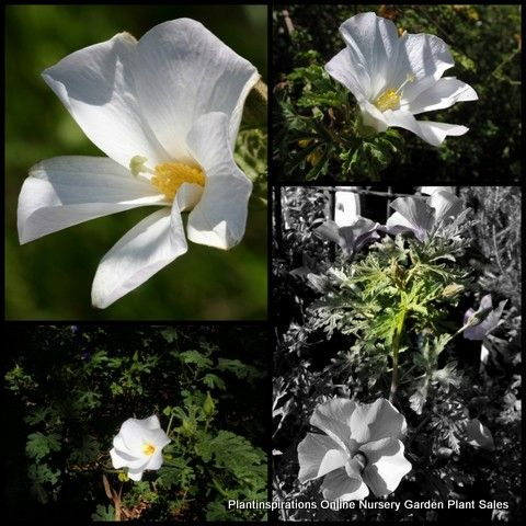 Native Hibiscus Alyogyne Huegelii Alba White Flowers Australian Hardy Plants Shrubs
