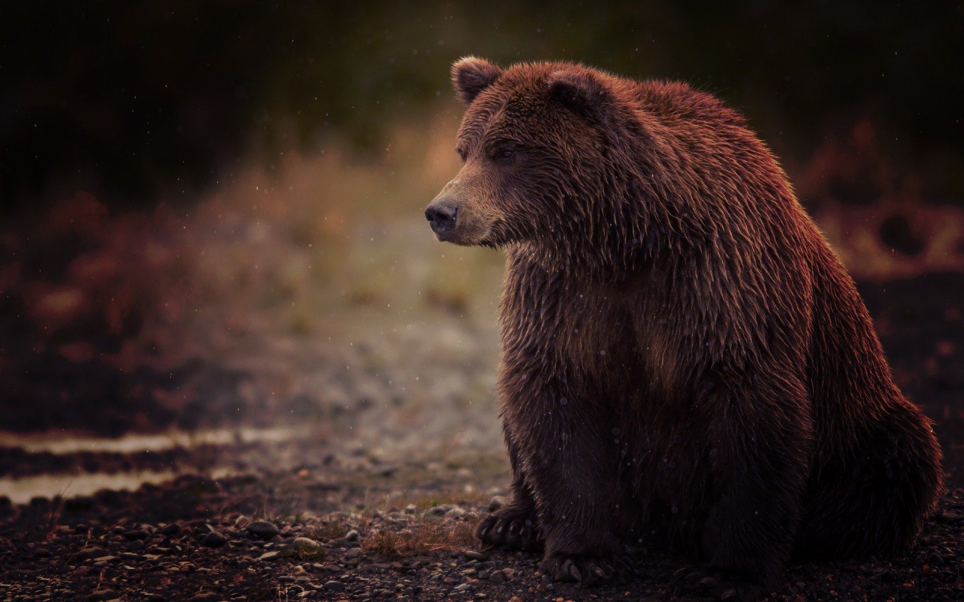 Grizzly bear Wallpaper GFXHive Brown bear, Bear