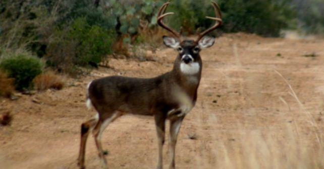 VENADO COLA BLANCA | Live Deer | Pinterest | Venado cola blanca ...