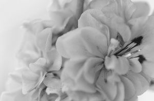 Flower, black and white image.