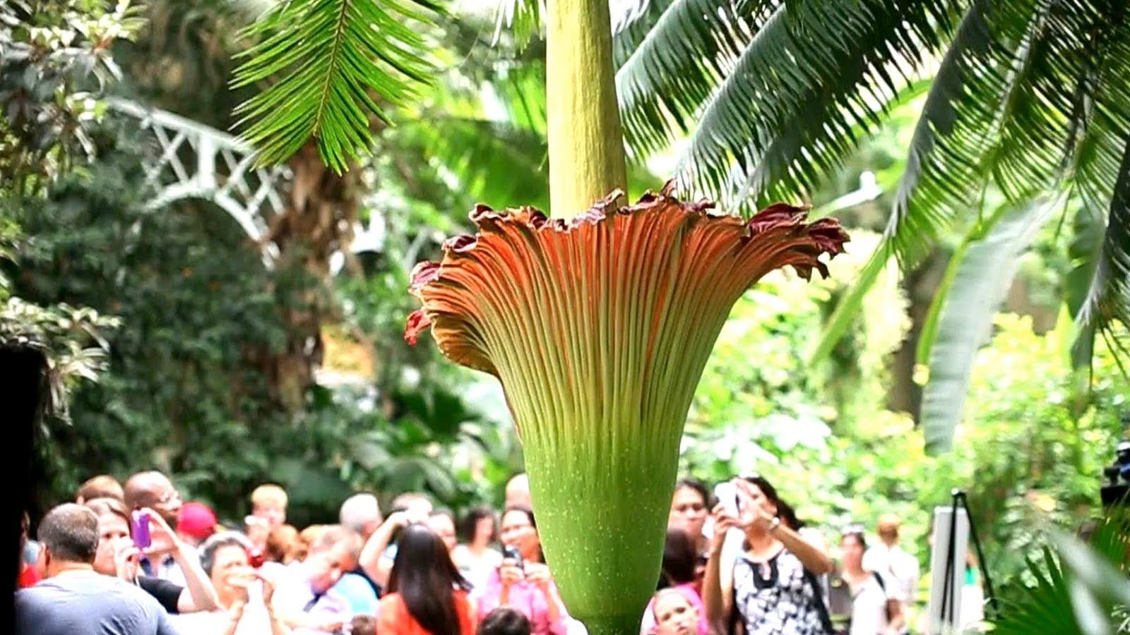 The Corpse Flower Behind The Stink Corpse Flower Corpse Flower Bloom Types Of Flowers