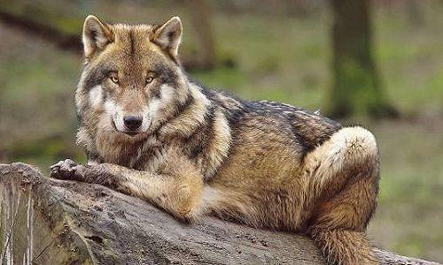 Sondage : Êtes-vous favorable à l'ouverture de la chasse aux loups dans les Vosges et la Meurthe et Moselle ?
