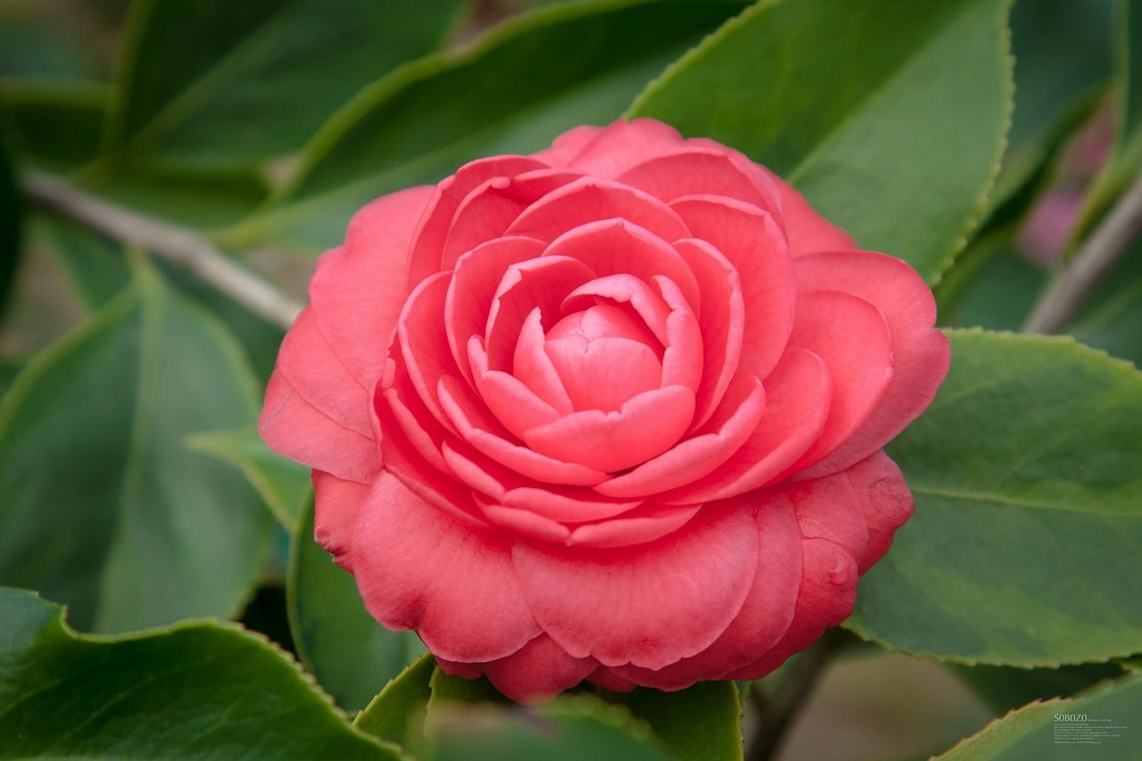 Oelland Camellia Plant Garden Shrubs Indoor Flowering Plants