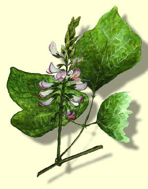 Kudzu Pueraria Lobata Willd Ohwi Olownik Latkowaty Rodzina Motylkowate Papilionaceae Plant Leaves Herbs Garden