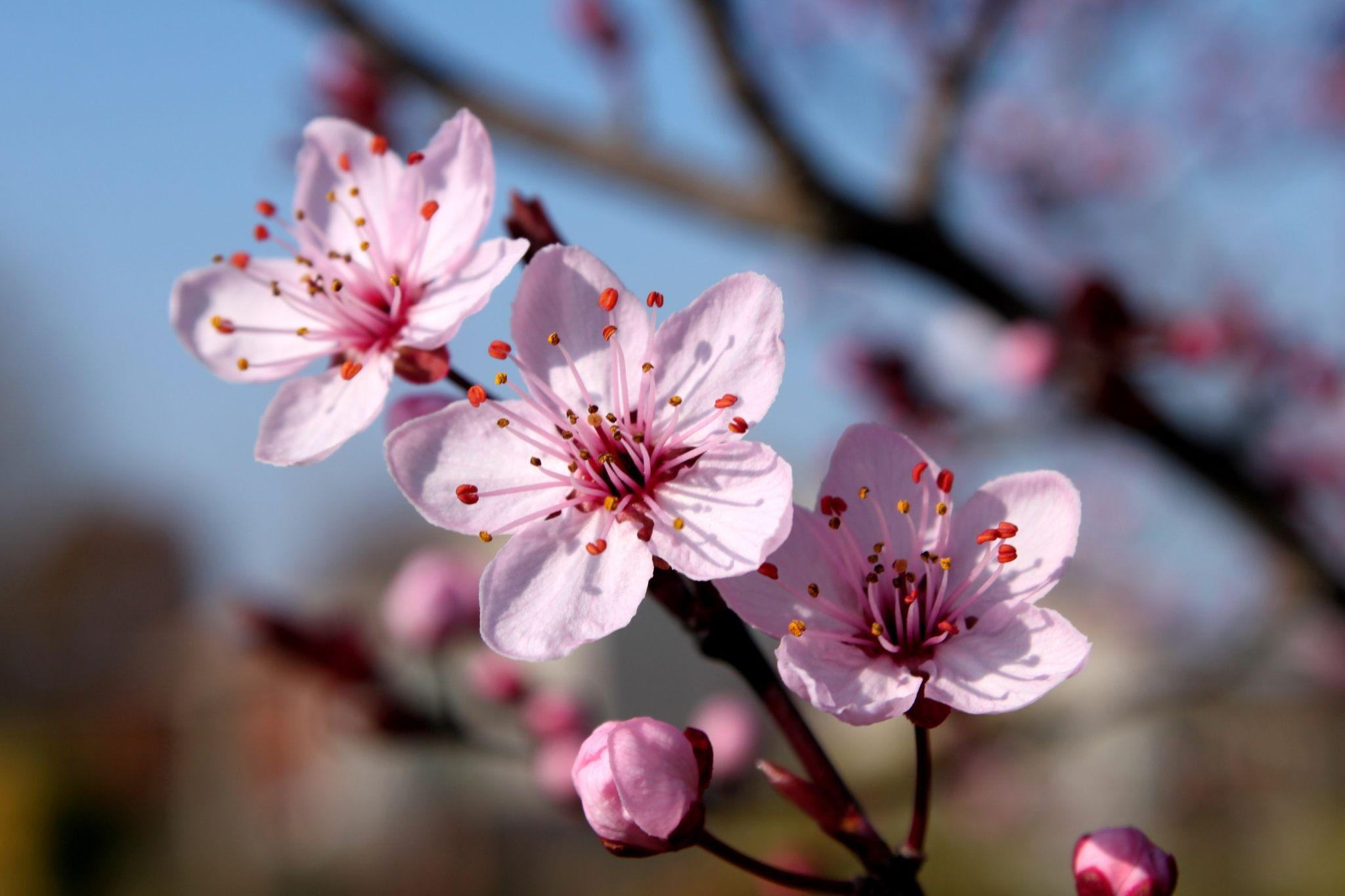 Blossum Song Beautiful Flowers Sakura Cherry Blossom Blossom Flower