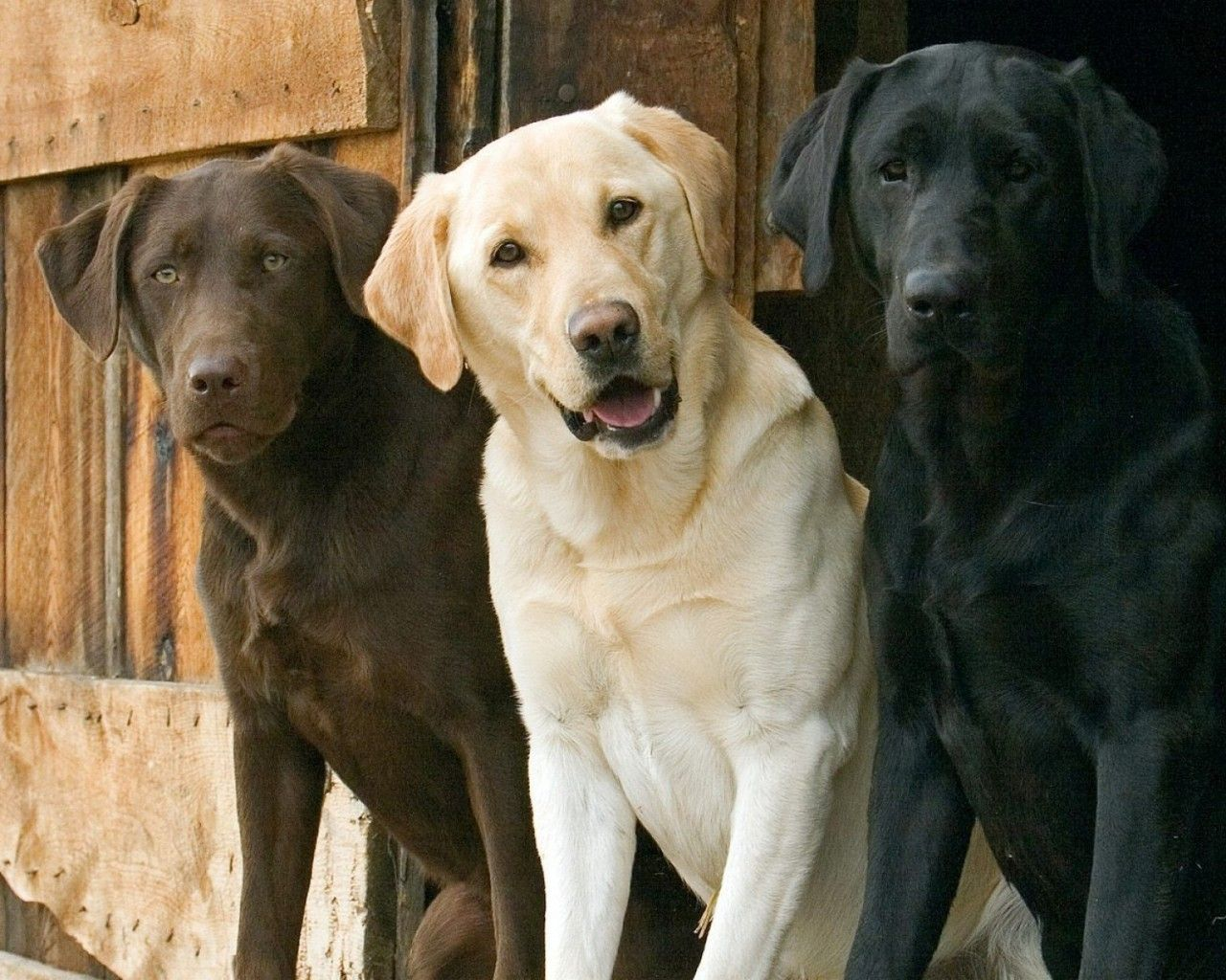 Common Health Problems In Labrador Retrievers And How To Care For