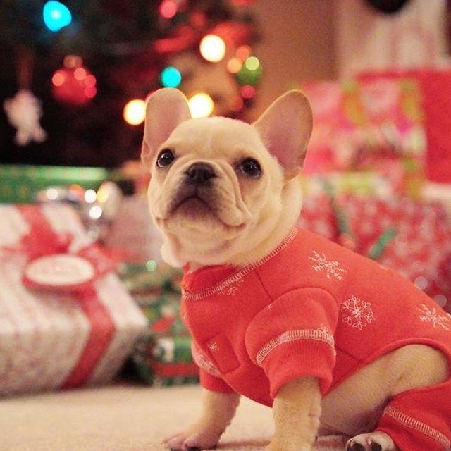 Leo In His Christmas Onesie French Bulldog Puppy Frenchieleo