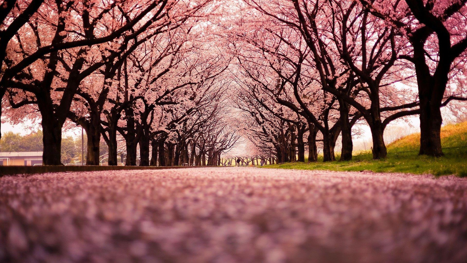 Anime Wallpaper Anime Cherry Blossom Bunga sakura