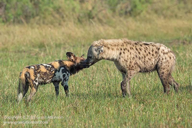 Hyena Vs Wild Dog