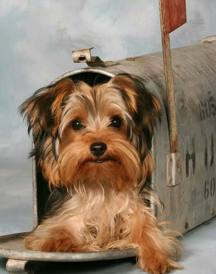 Waiting For The Mail Yorkie Puppy Yorkie Yorkie Moms