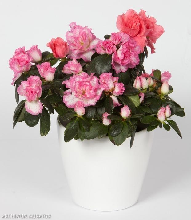 Kwiaty Doniczkowe Kwitnace Zima Zdjecia Kwiatow Bahce