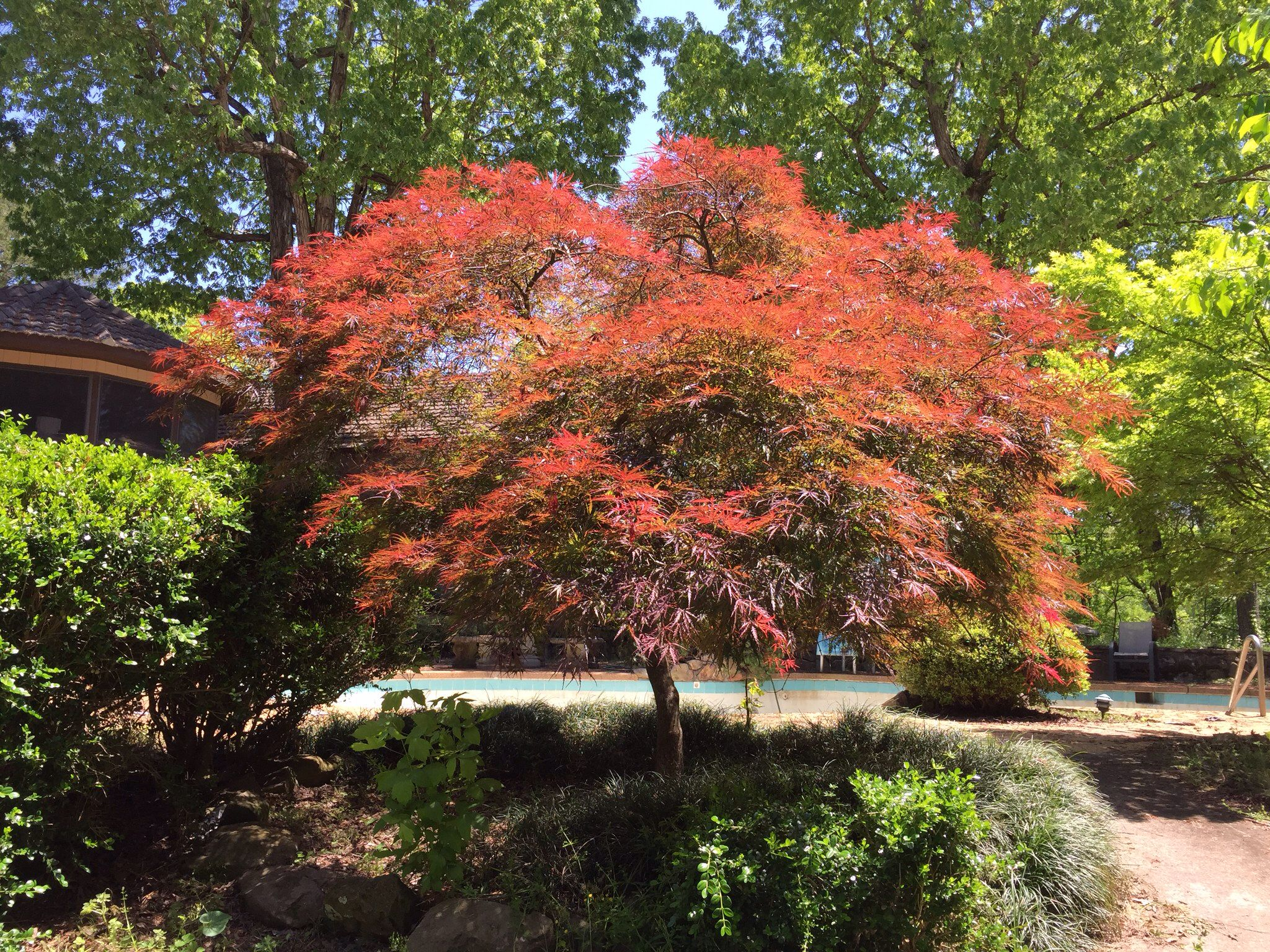 Now I get why the Japanese Maple is such a fancy tree. This think has like 10 different shades of red and green. I love it :)