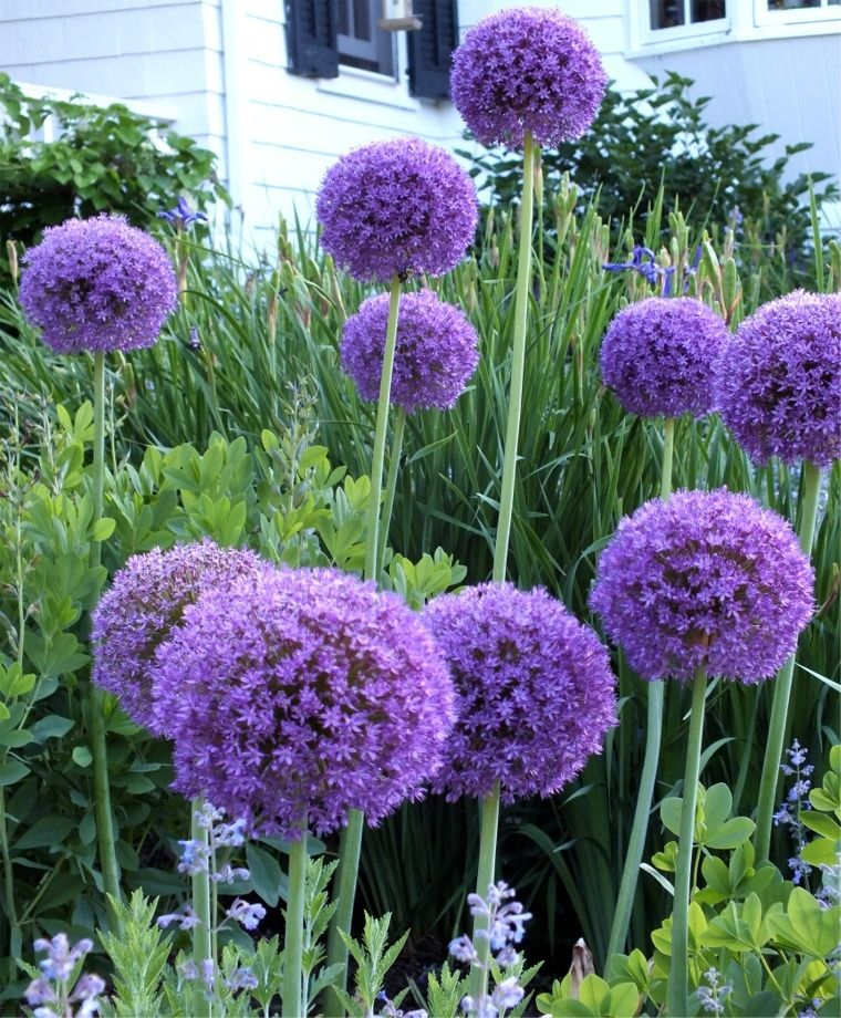 Allium Globemaster Allium Flower Bulb Index Allium Flowers Deer Resistant Plants Bulb Flowers