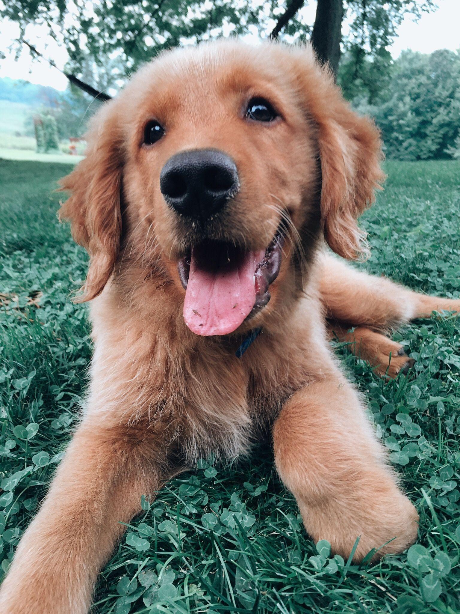 Bull Mastiff Import Quality Pups For Sale Pets Amp Pet Care