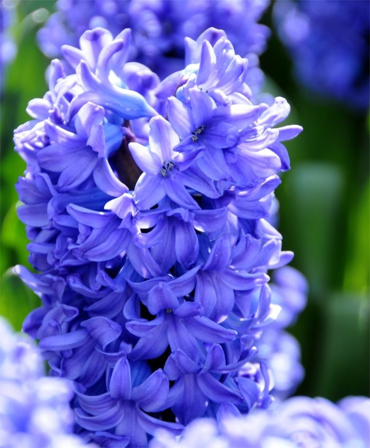 My Favorite Scent Hyacinths In The Evening Breeze On A Beautiful Spring Day Can T Wait Until Spring Gets He Hyacinth Flowers Hyacinth Flower Pictures Flowers