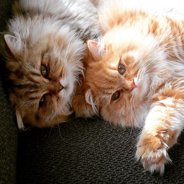 101 Best Instagram Cats to Follow 2015 Thor and Loki British Longhair brothers from the Netherlands. Sleepy, playful and peacefully living together.