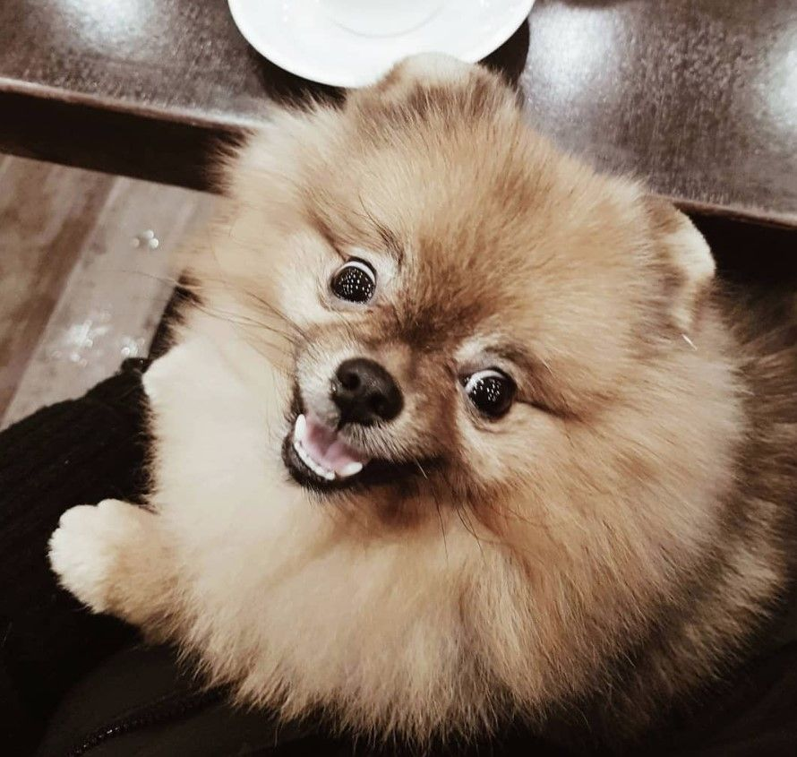 40 Pomeranian Male Dog Names Dog Names Pomeranian Dog Best Dog Names