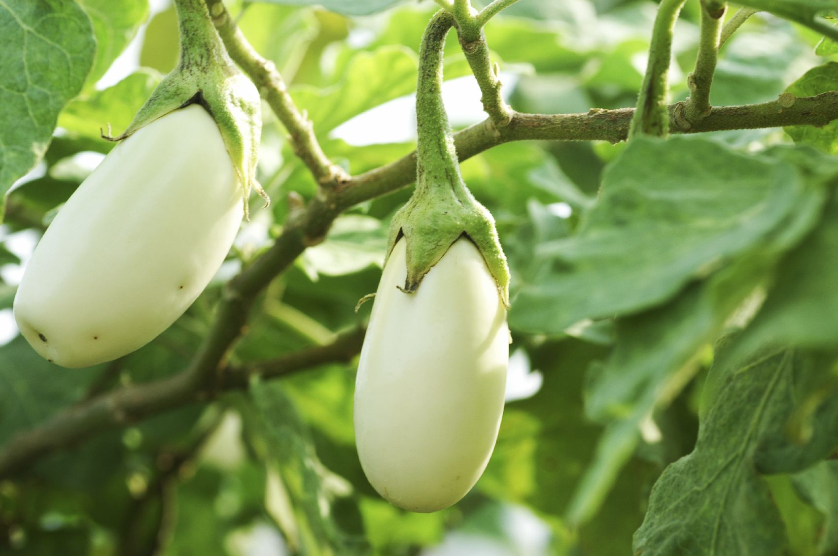 Common Eggplant Varieties Learn About The Types Of Eggplant White Eggplant Eggplant Varieties Eggplant