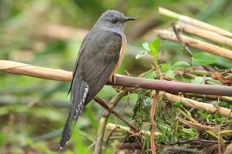 Mengenal Ciri Khas Burung Wiwik Kelabu Dan Daerah Persebarannya Burung Jalak Permukaan Laut