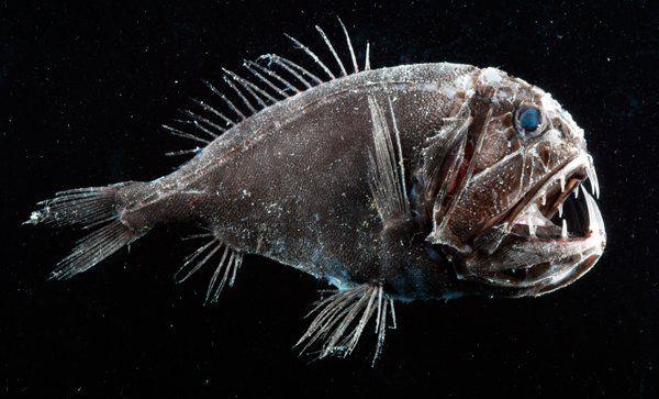 """""""Um lugar escuro, frio e que abriga milhares de espécies peculiares. Essas criaturas são conhecidas como """"peixes abissais"""" e são muito curiosos, quando não fascinantes, apesar da aparência estranha e, muitas vezes, terrível. Biólogos e cientistas afirmam que muitos desses seres marinhos ainda são desconhecidos pelo homem."""""""