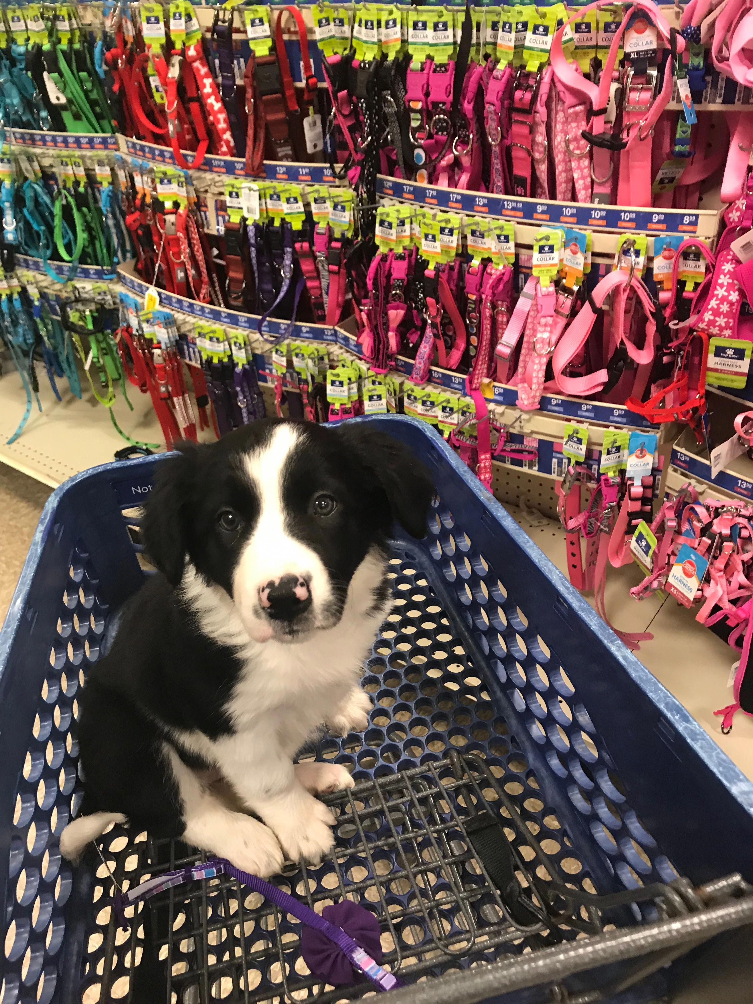 Best Friend Shopping Collie Puppies Border Collie Puppies Border Collie