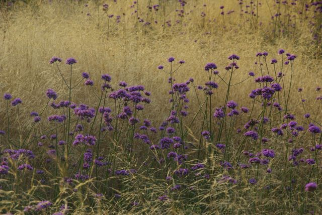 Verbena bonariensis and grasses - a magical combination at Het Vlackeland. Photos by Willy Oorthuijsen.