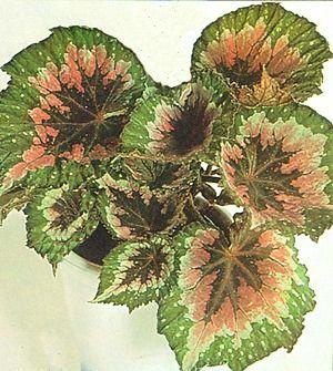 As Begonias Pertencem A Familia Da Begoniaceas E Sao Plantas De