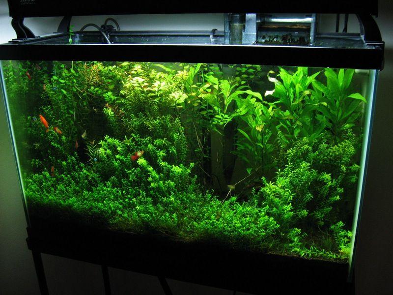 Planted aquarium photo by nat tarbox planted aquarium for Betta fish plant tank