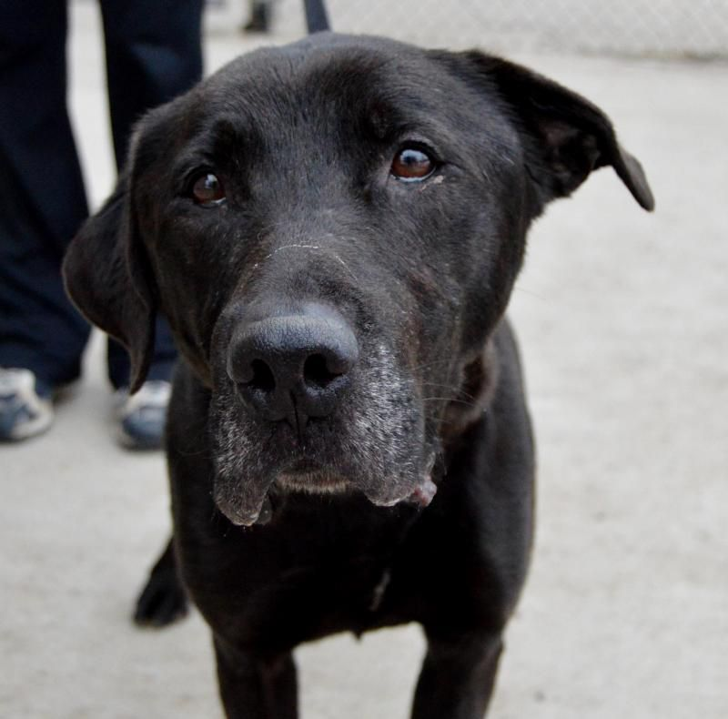 Adopt Mikey 85 00 Adoption Fee On Petfinder Lap Dogs Service Dogs Labrador Mix