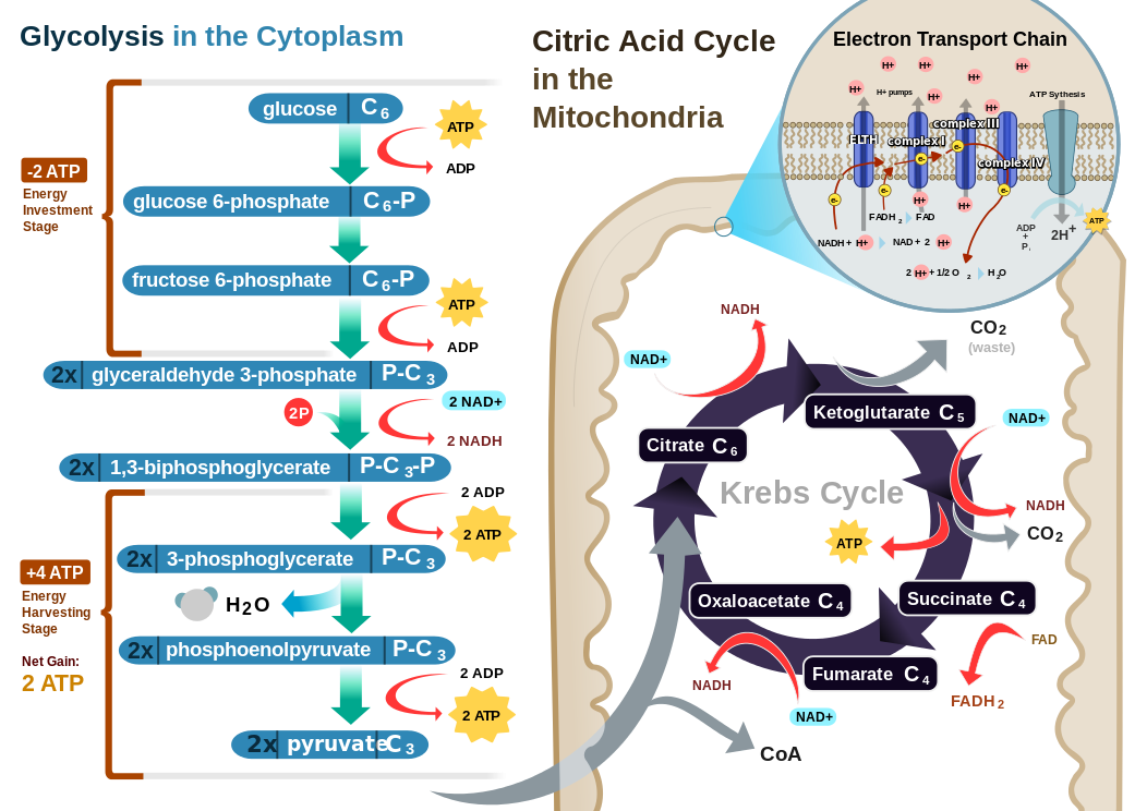 CellRespiration Cellular respiration Wikipedia, the