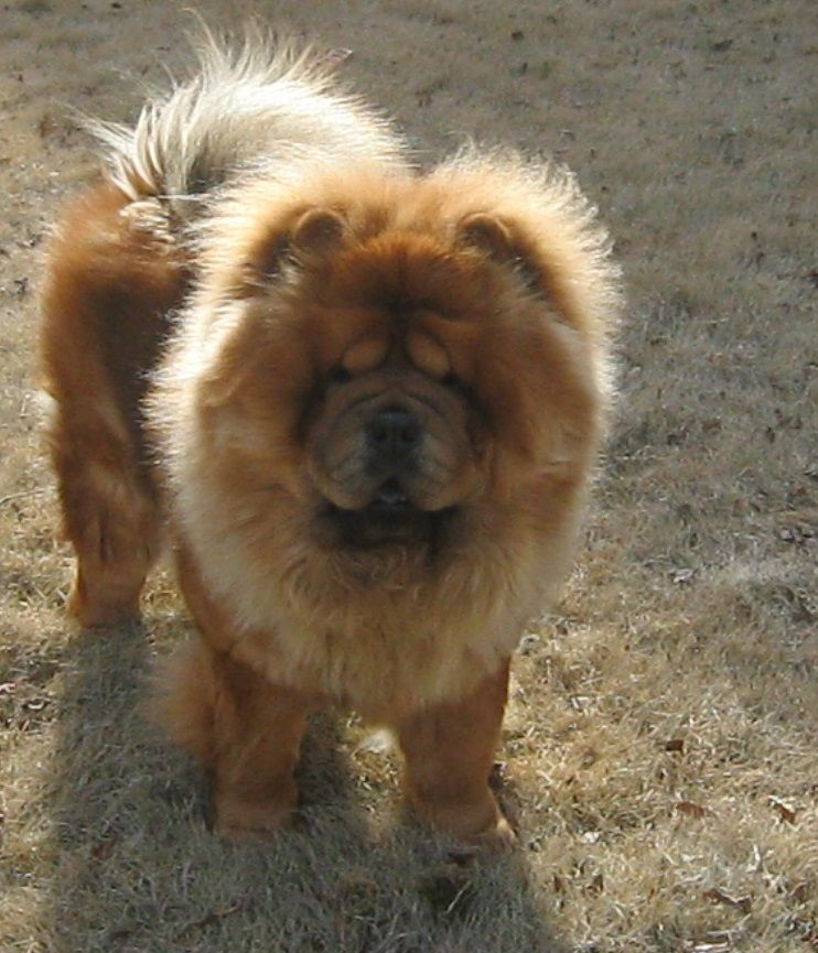 My Beautiful Chow Chow Moses Playing In The Yard One Love