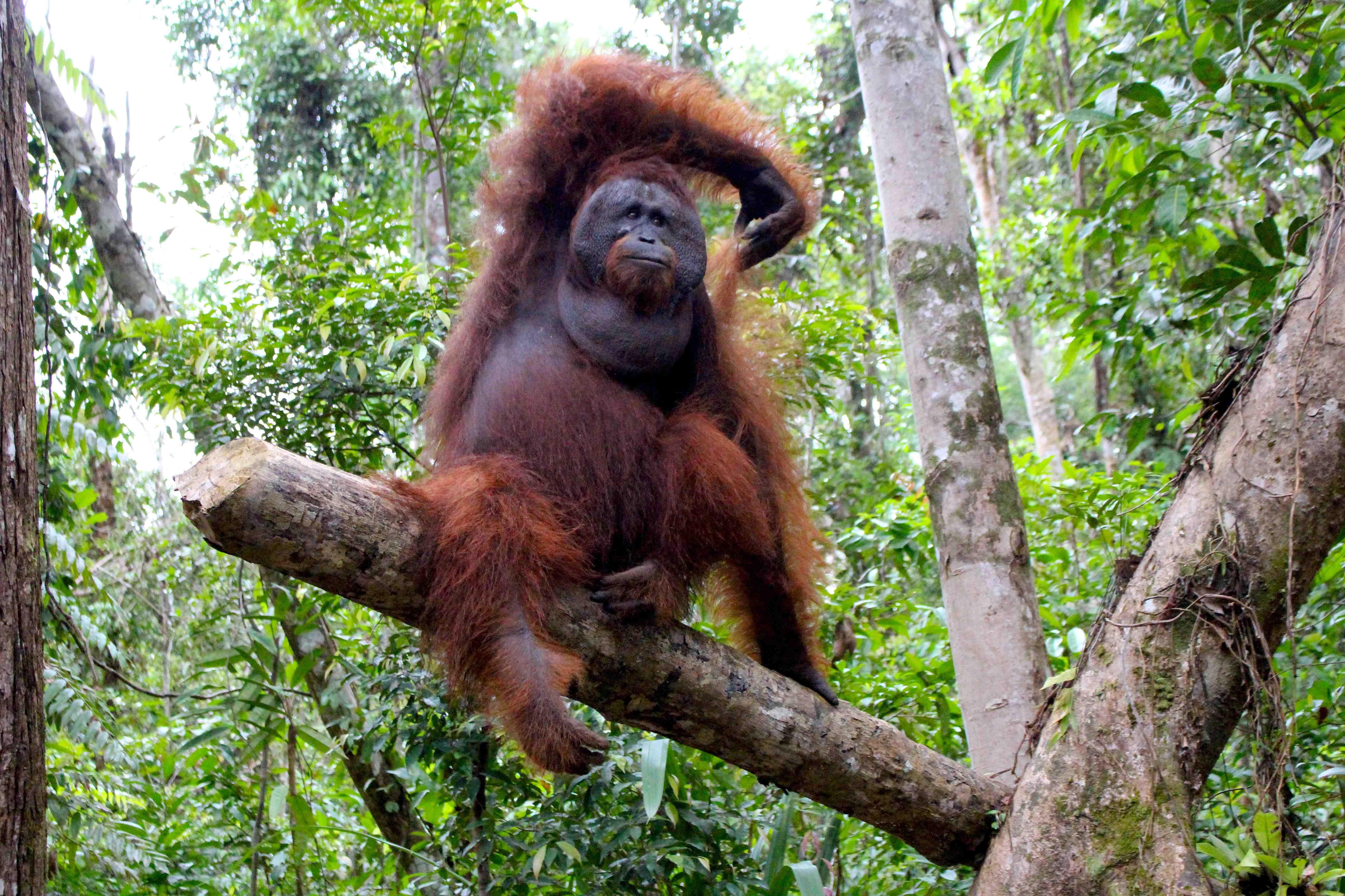 Orangutan As Food Google Search Orangtans Orangutan Monkey