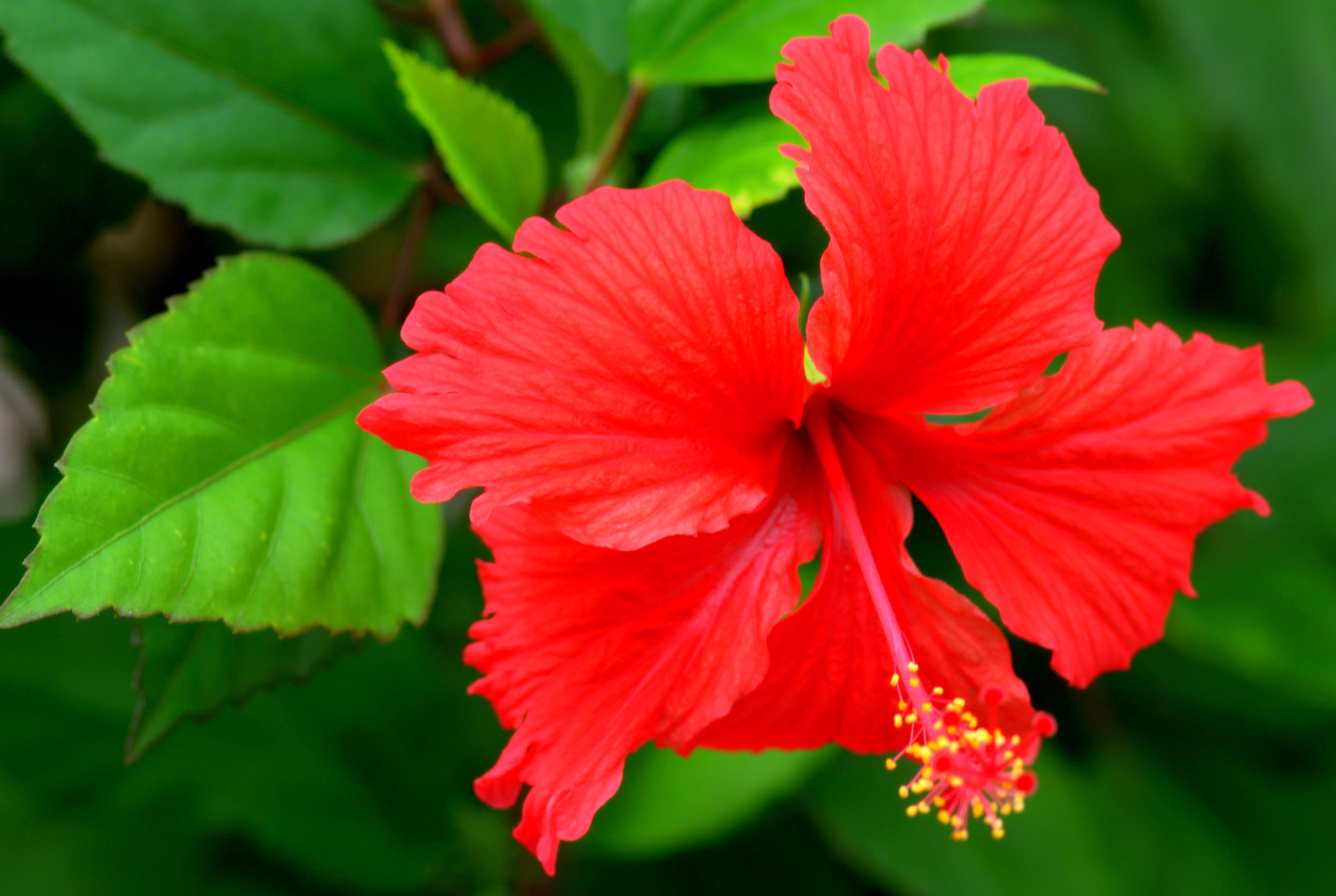 Caribbean Flowers: NEVIS.........SUMMER TIME....flowers Nevis Photographer