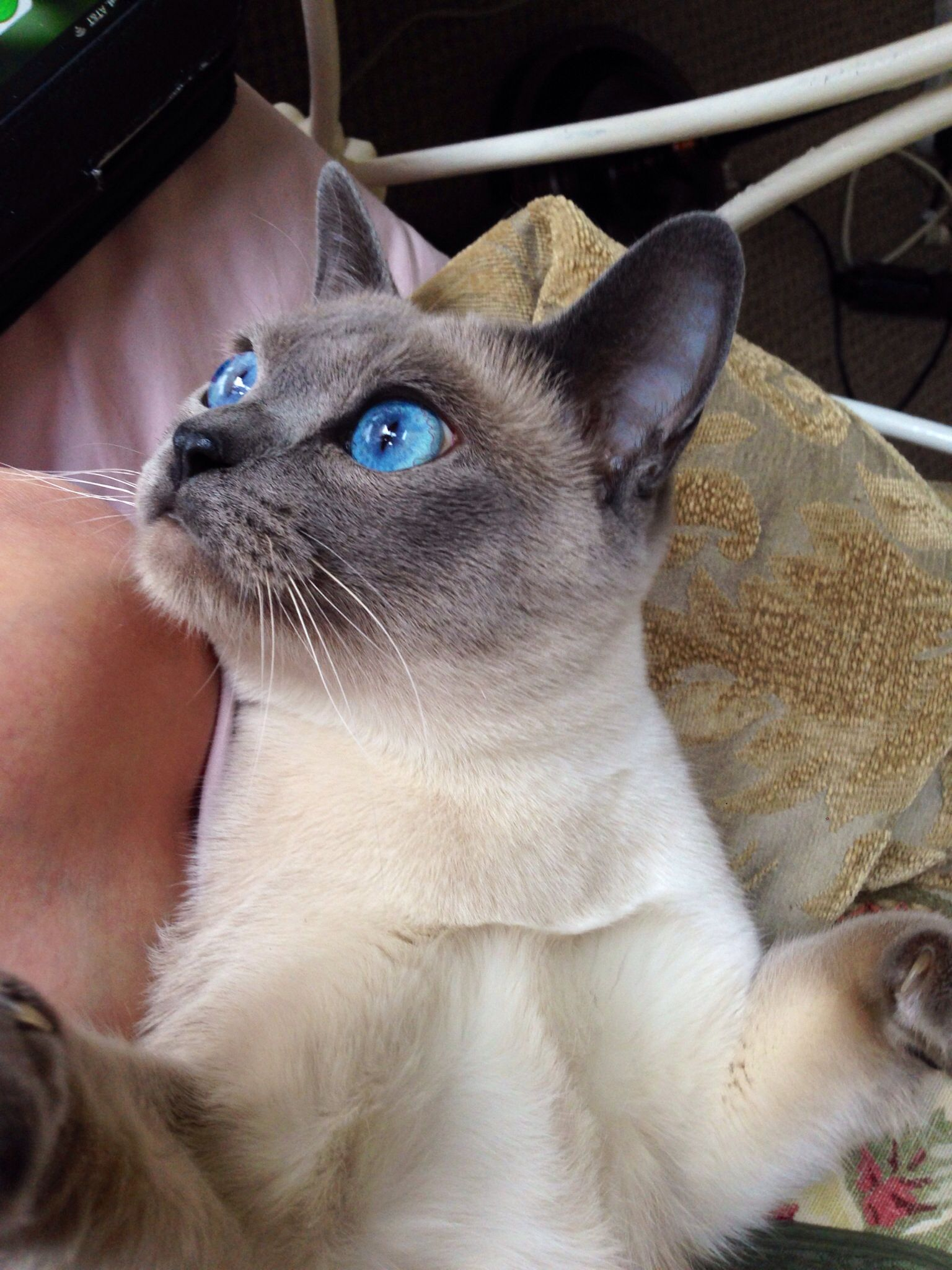 Tonkinese Blue Mink Tonkinese Cat Pets Siamese Cats Blue Point