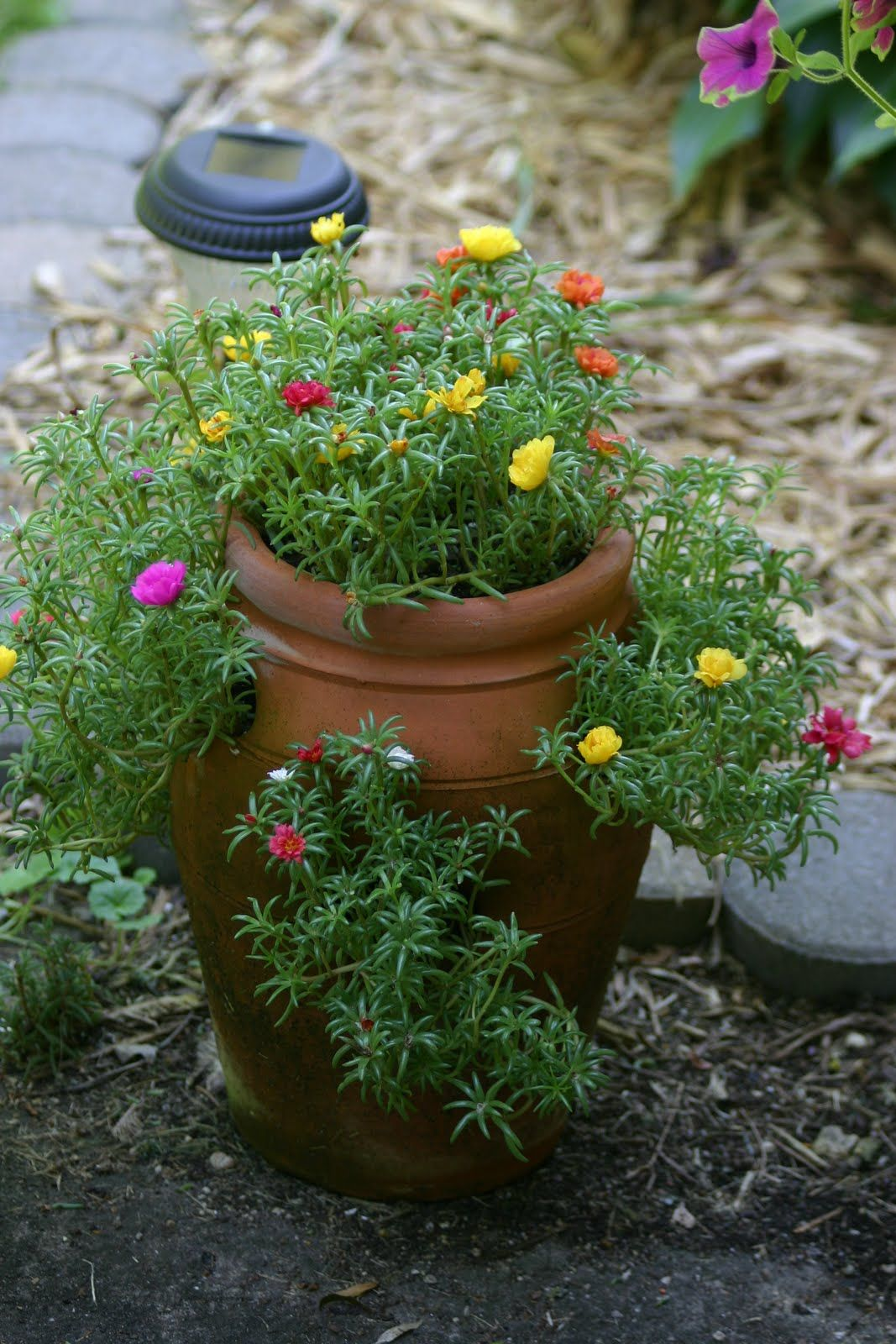 Pin by Beckey Douglas on moss rose, portulaca Growing