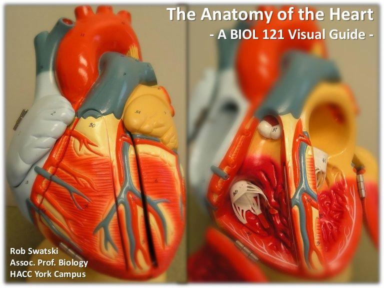 The Anatomy of the Heart - A BIOL 121 Visual Guide - Rob Swatski ...
