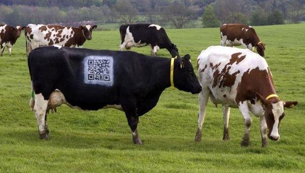 La vaca QRie
