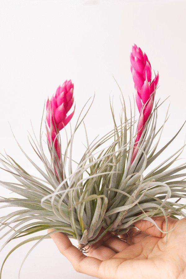 Do Air Plants Die After Flowering   Piante Senza Radici   Pinterest   Piante  Senza Radici, Radici E Piante