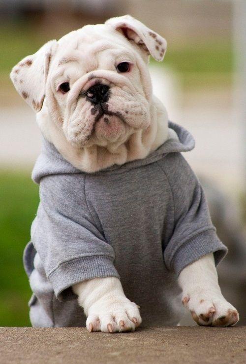 Bulldog Pet Sweater Tshirt Bulldog Puppies Bulldog Cute Animals