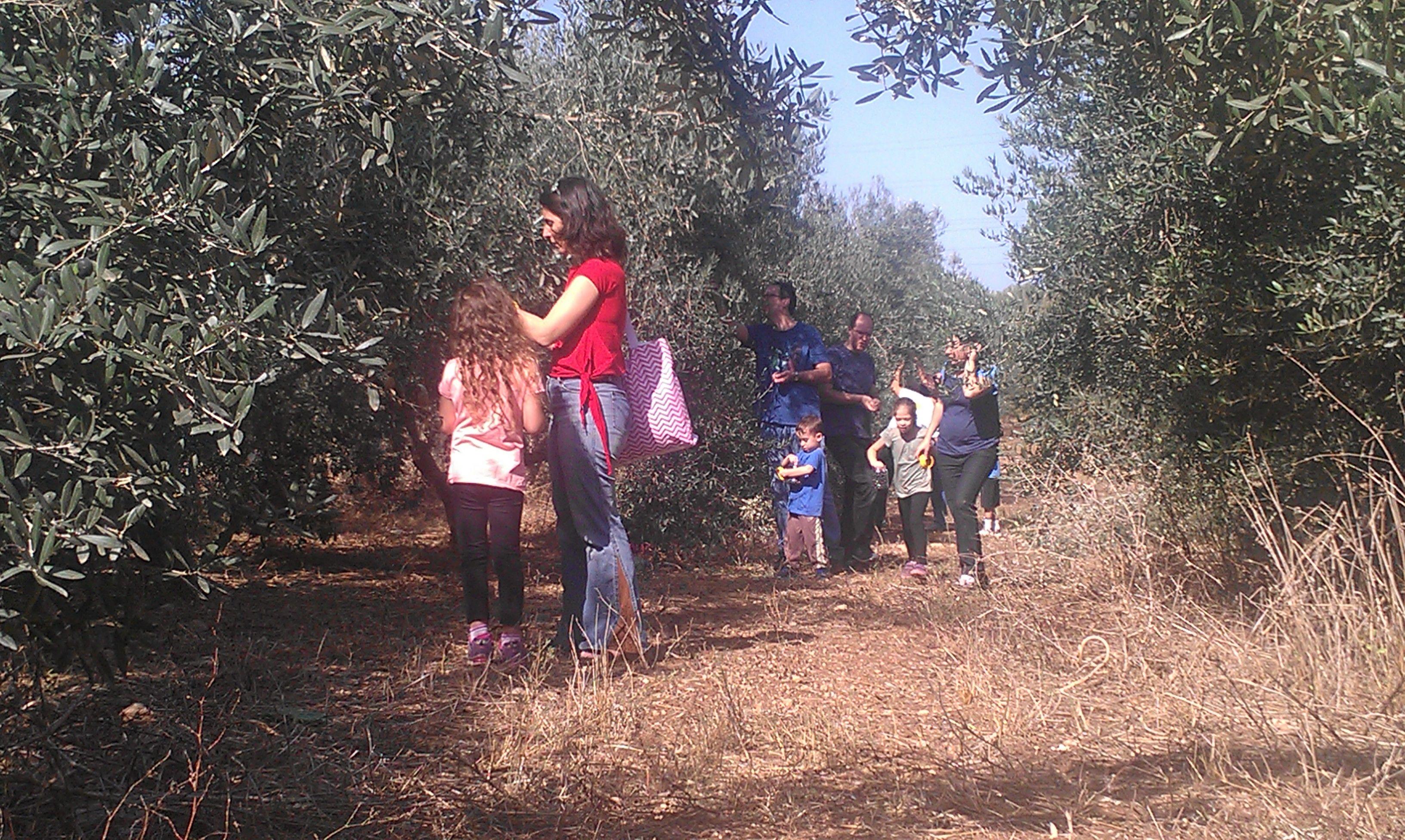 fun olive picking in the organic grove