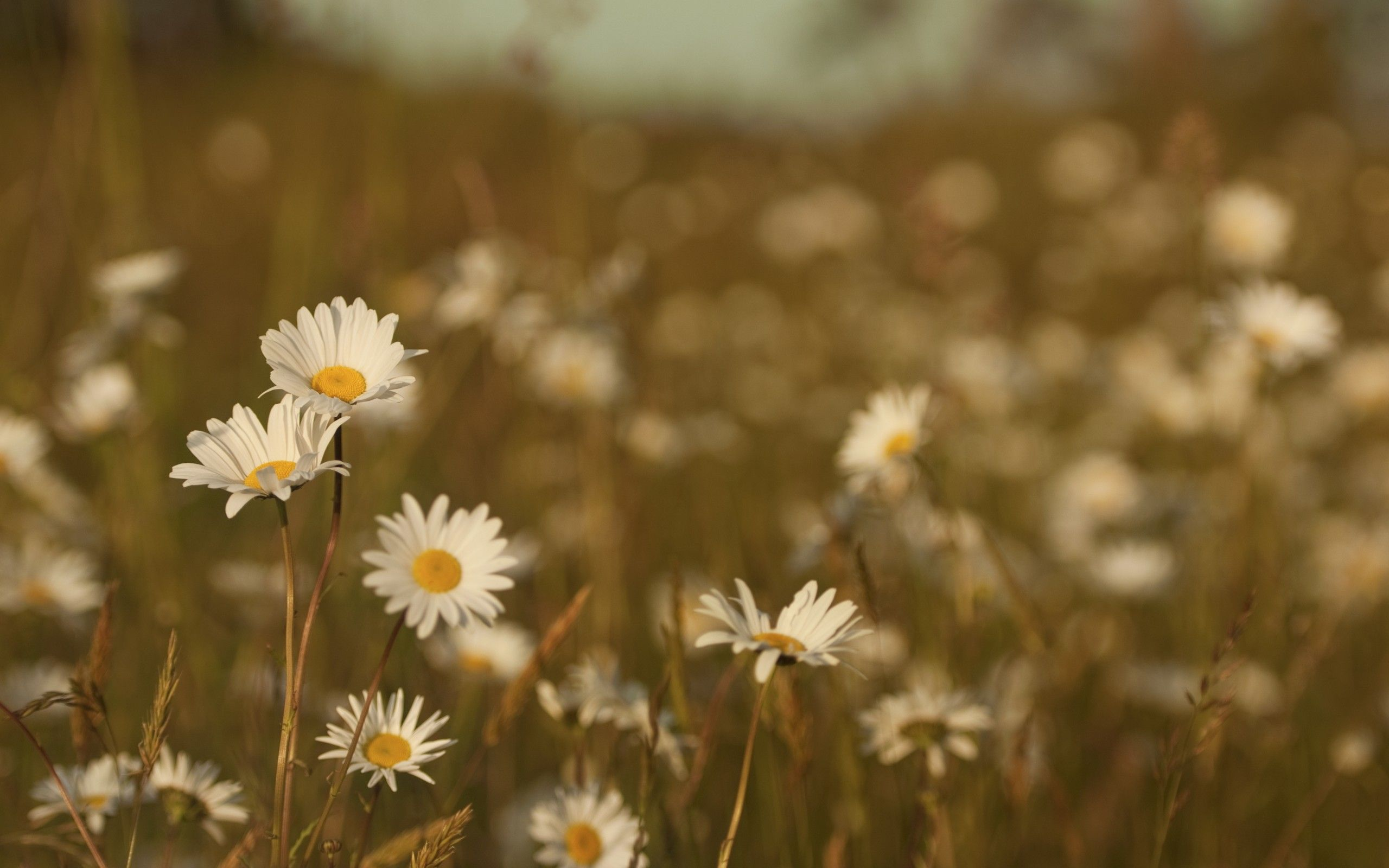 Wallpaper 2560x1600 Field Meadow Grass Summer Flowers Heat Color Daisies Background Download W Daisy Wallpaper Flower Field Watercolor Flowers Paintings