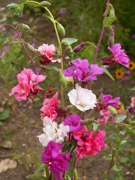 What Is A Godetia Plant Learn About Clarkia Flowers In The Garden In 2020 Flowers Plants Spring Flowers