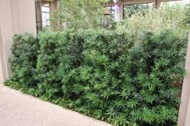 Podocarpus macrophyllus - Pinheiro de buda - é uma conífera colunar, ereta que atinge um porte maior, formando uma bordadura impactante. Mas, se não tiver poda, vira um pinheiro de verdade, podendo chegar a 15-20m de altura. Sua folhagem é perene, compacta, de coloração verde-escura e brilhante, composta por folhas lineares. Deve ser cultivado sob sol pleno ou meia-sombra.